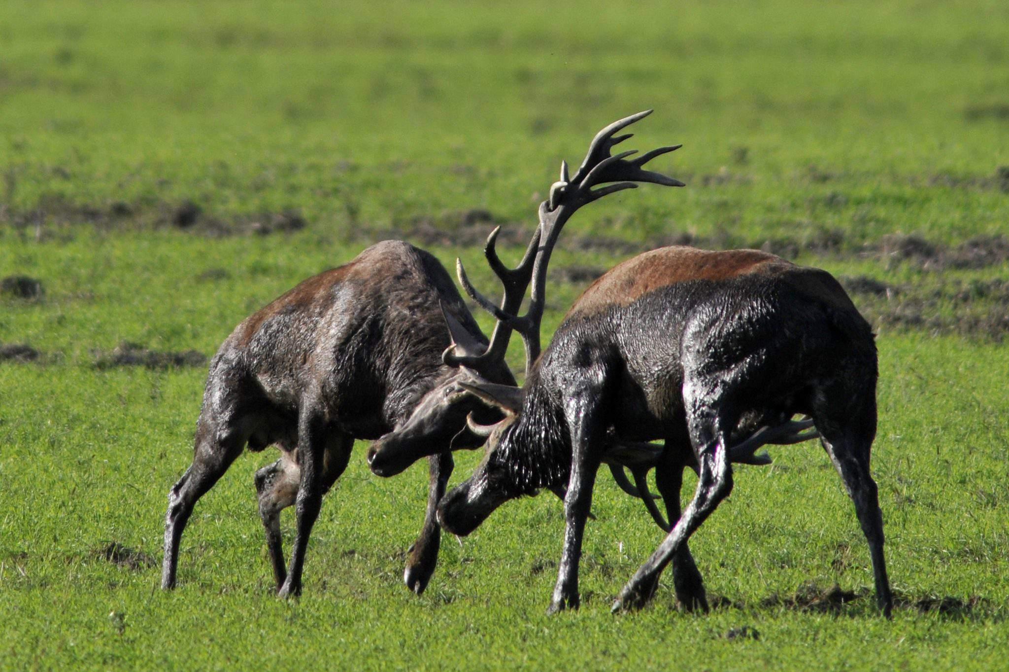 The autumn deer rut in Hungary, photo: MTI