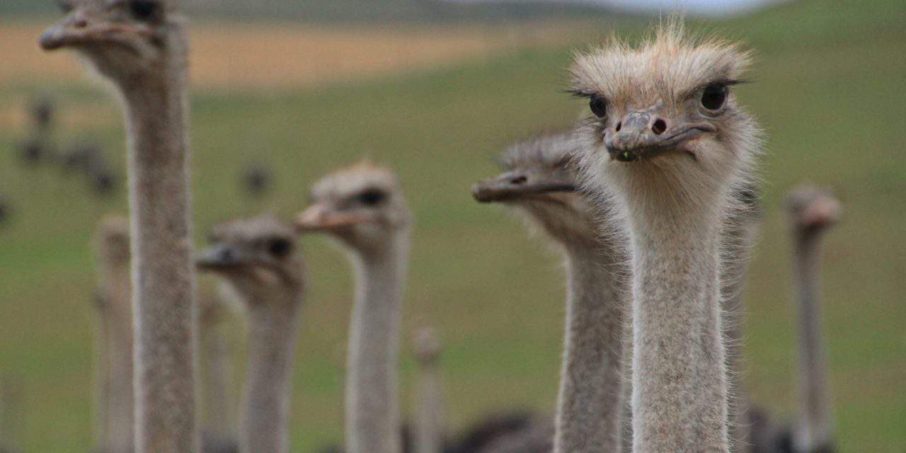 Hajdúnánás – the Hungarian town unique for its ostrich farm