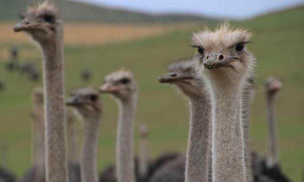 Hajdúnánás – the Hungarian town unique for its ostrich farm
