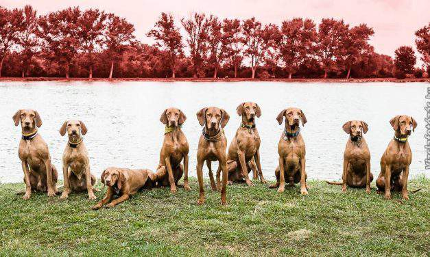 Vizsla, the world-famous Hungarian dog breed