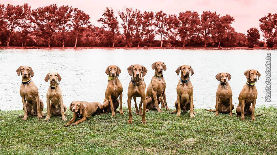 Vizsla, the world-famous Hungarian dog breed