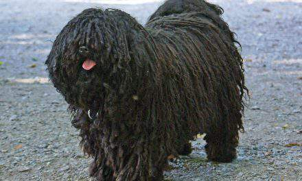 Puli, the world-famous Hungarian shepherd dog