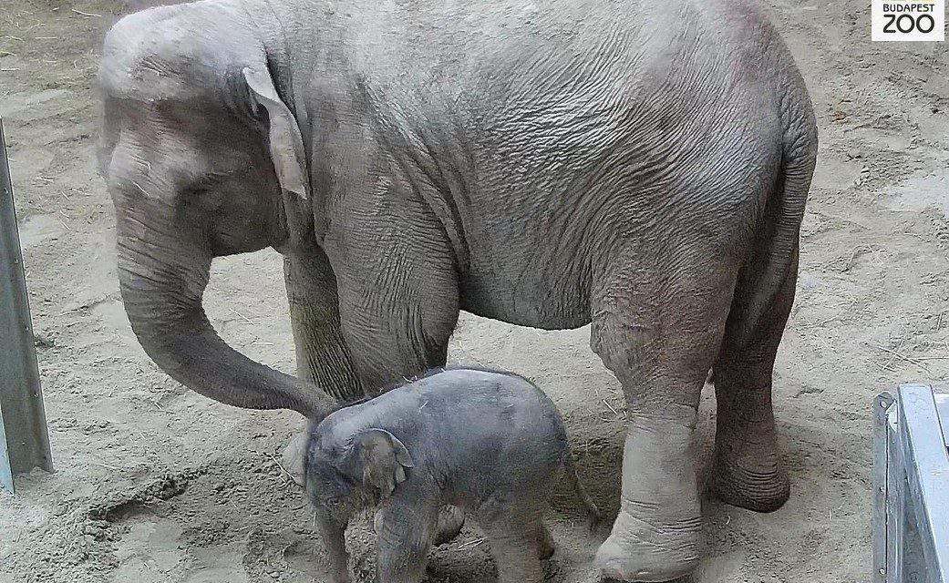 Elephant baby at Budapest Zoo – VIDEO