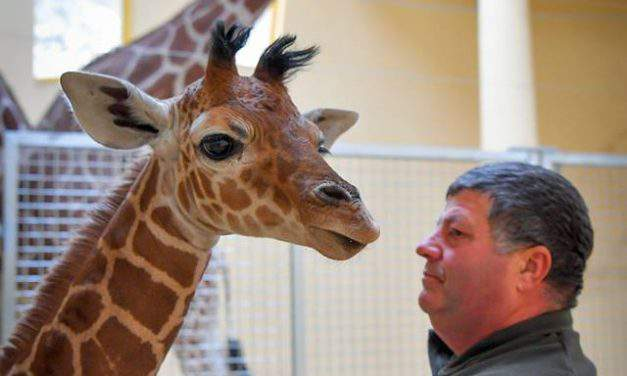 Super cute giraffe baby born in the Debrecen Zoo – PHOTO GALLERY