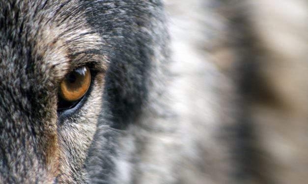 Wolves settled in Hungarian Börzsöny