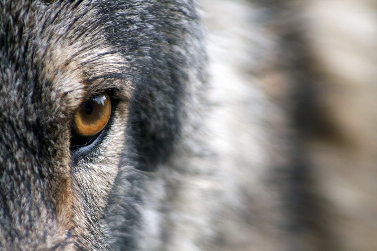 wolf wild life predator Hungary