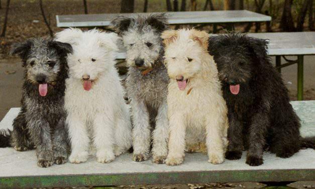 Pumi, the fluffy Hungarian shepherd dog