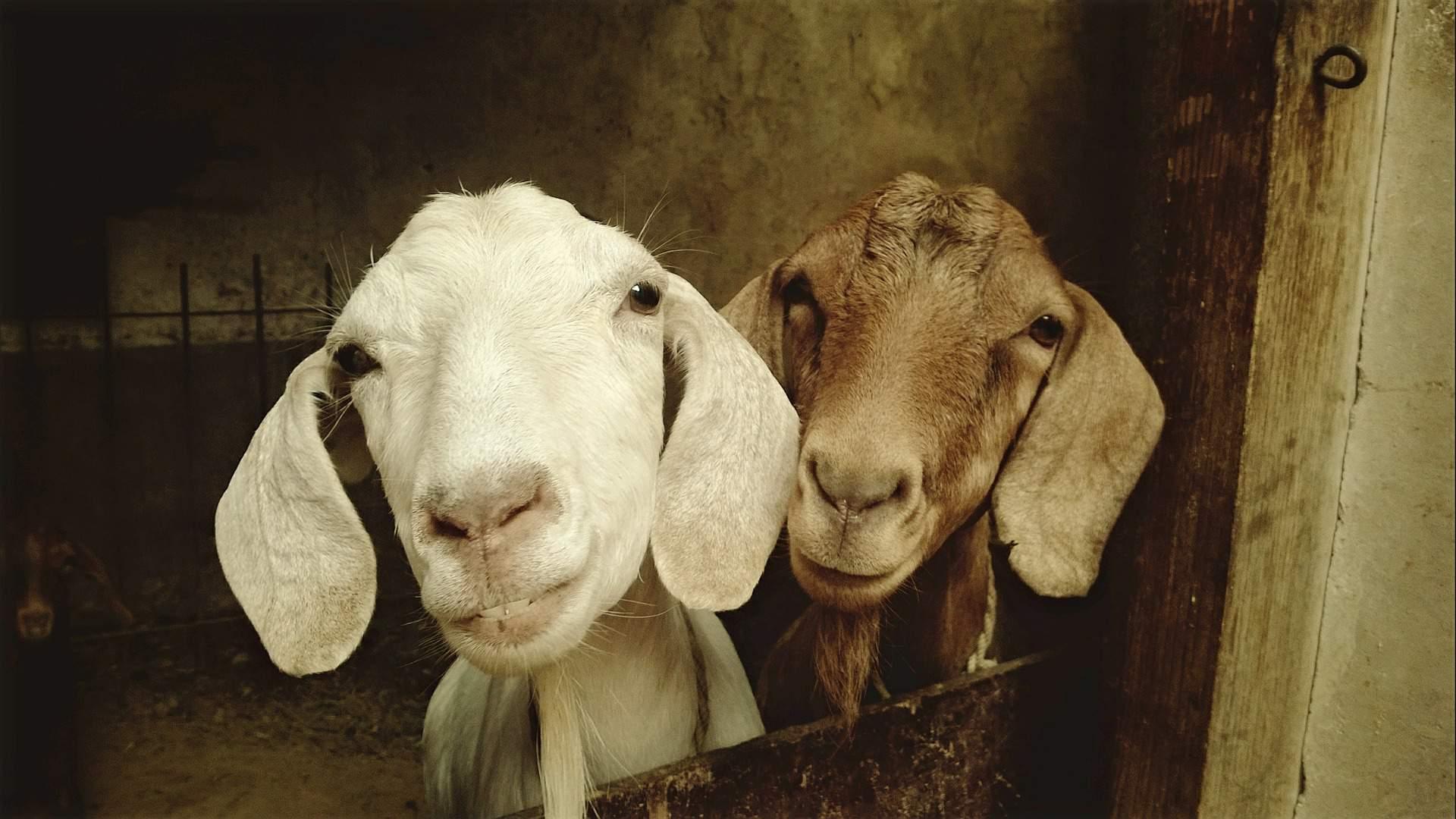 kecske goat animal állat