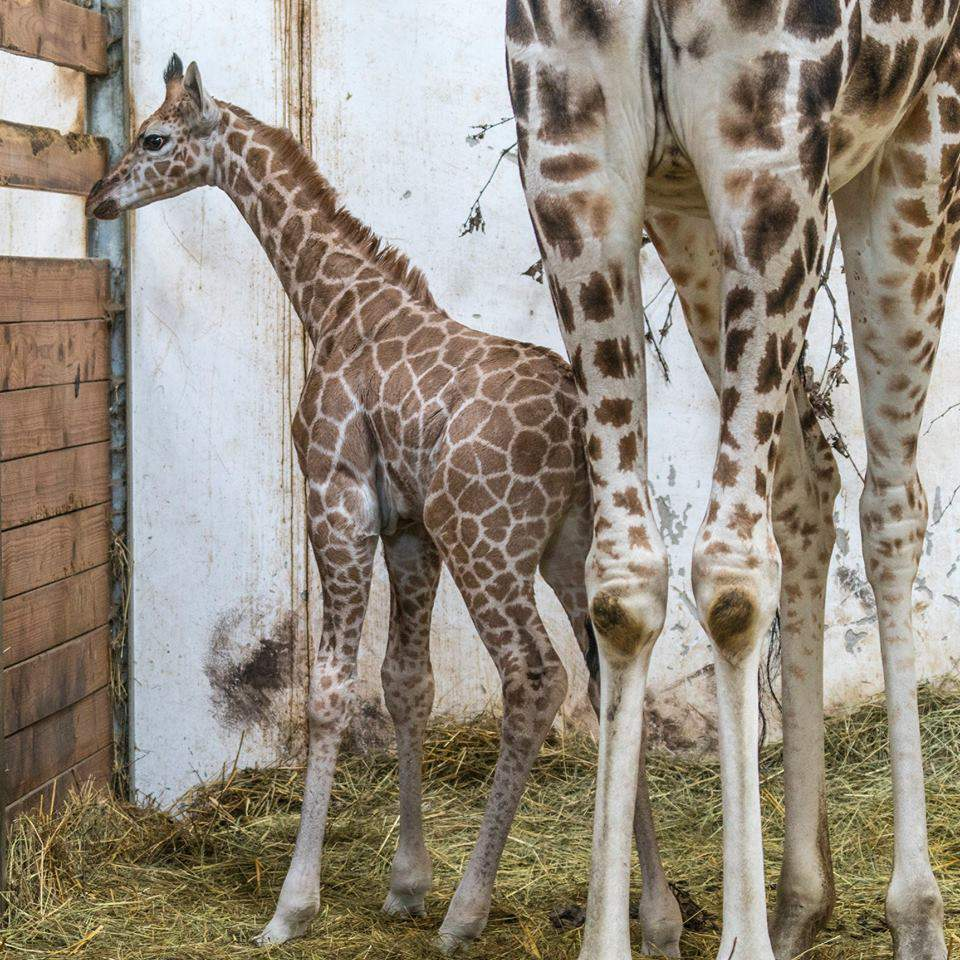animal zoo babay giraffe
