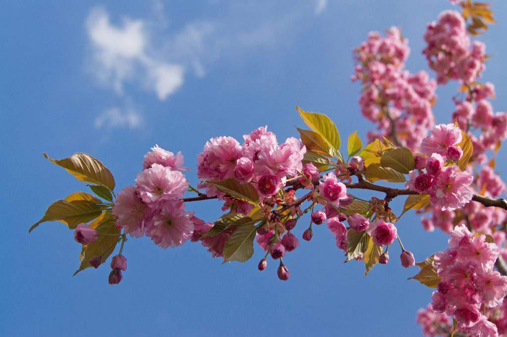 cherry blossom Nagykörű