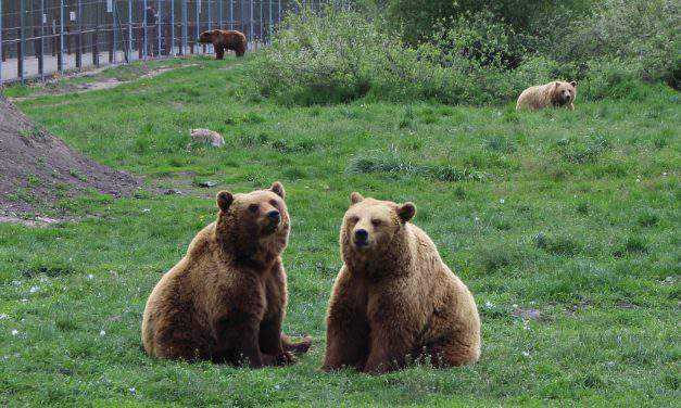 Bears wandering in Pest county – How dangerous are they and what to do if we meet one?