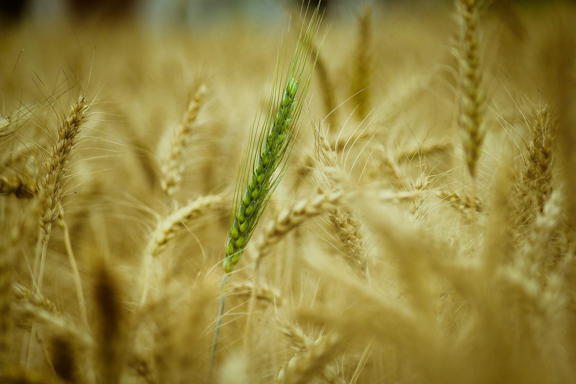 agriculture wheat grain