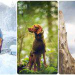 Hungarian vizsla dog Instagram