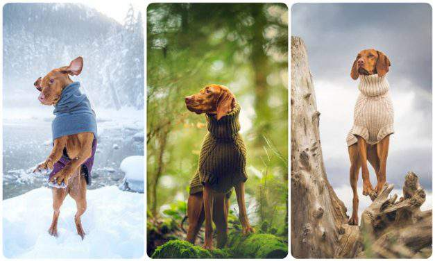 This Hungarian vizsla is the coolest travel blogger on Instagram