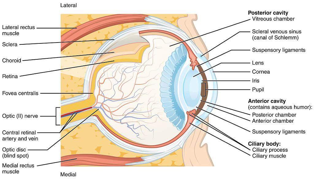 eye structure parts szem