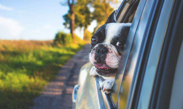 Hot days in Hungary: PETA Germany cautions people against leaving their dogs in the car