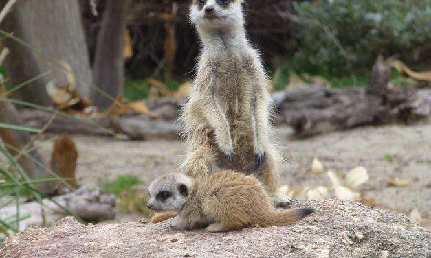 Terrible story in Hungary: Meerkat killed by schoolkid at zoo, outrage ensues!