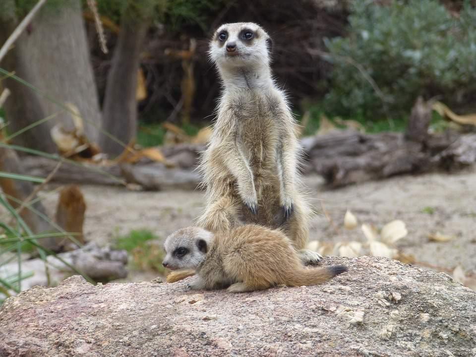 meerkats, baby, animal