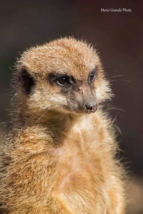meerkat, mate, animal