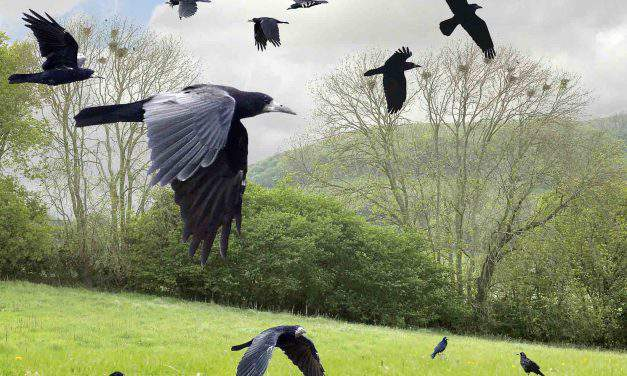 Crow invasion in Somogy, Hungary
