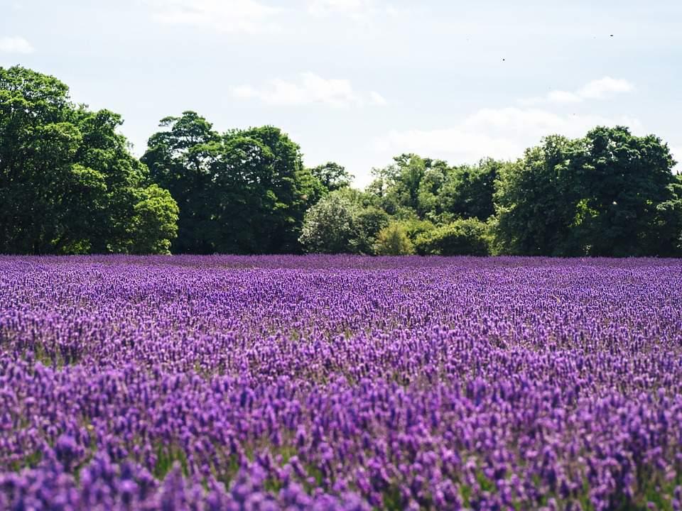 lake balaton, lavender