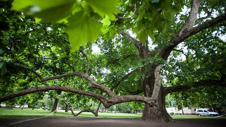 margaret island, tree