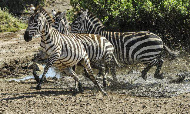 Hungarian researchers found that zebras' stripes do not help stay cool