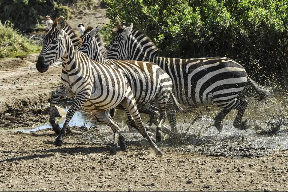 zebra, animal