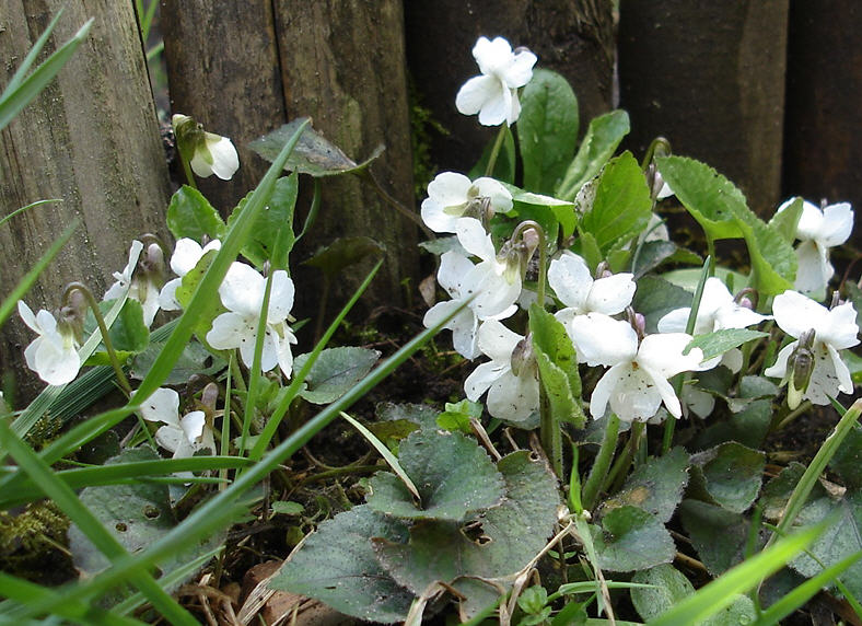 fehér ibolya flower