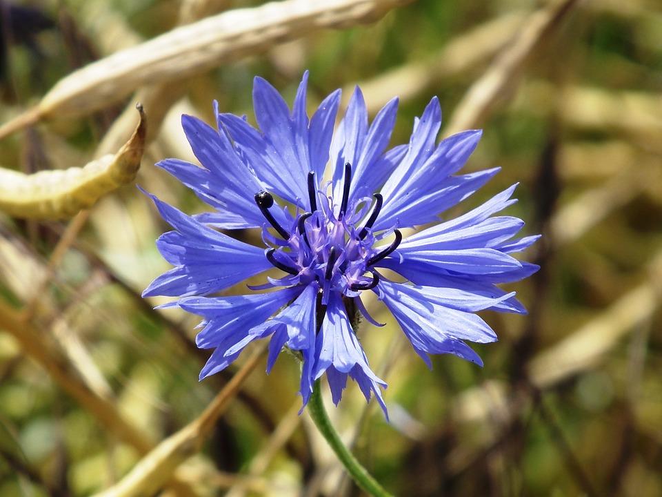 búzavirág flower