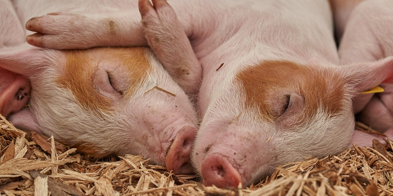 Progress made in re-opening shrunk export markets after swine fever