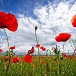 pipacs poppy flower