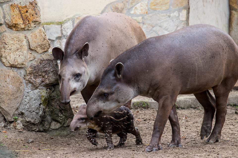 Tapir baby animal