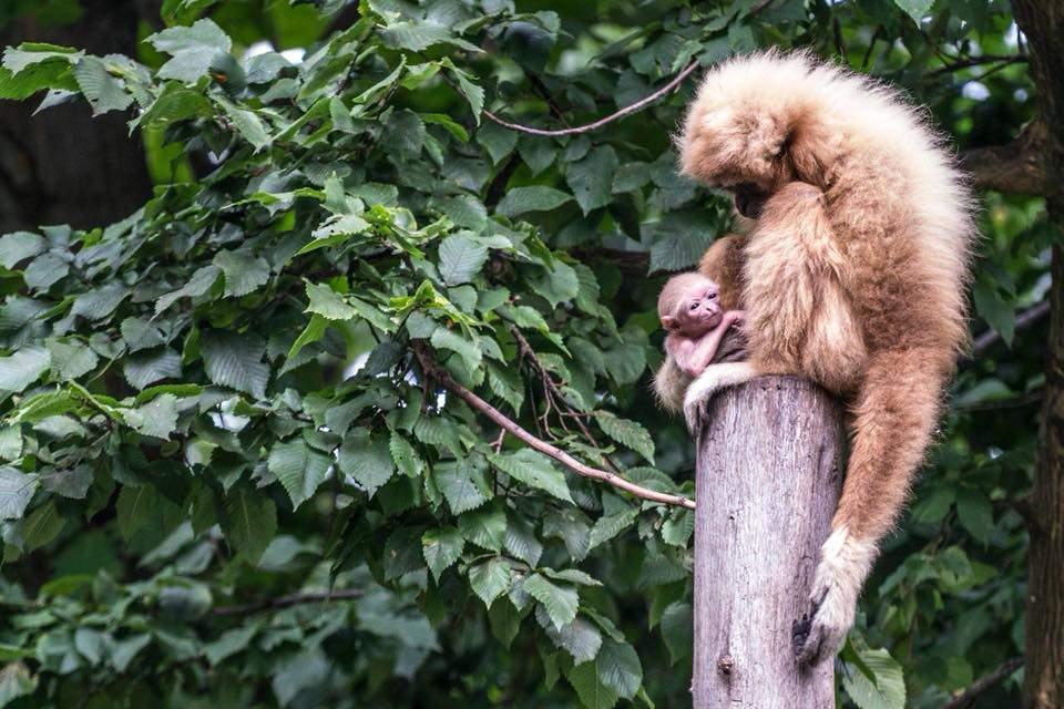 Baby gibbon Nyregyháza