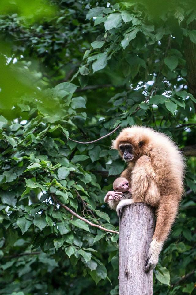 Gibbon baby animal