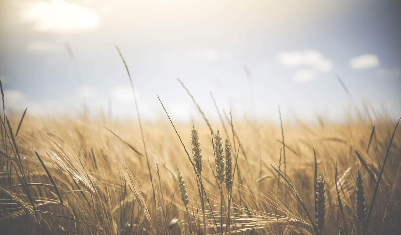 agriculture grain
