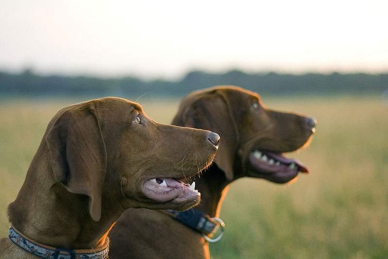 vizsla dog hungarian