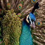 peacock páva animal