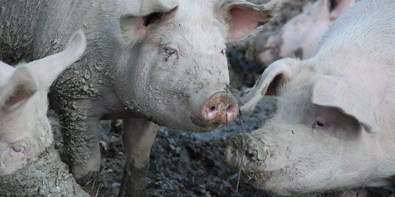 Health authorities launch campaign to fight African swine flu