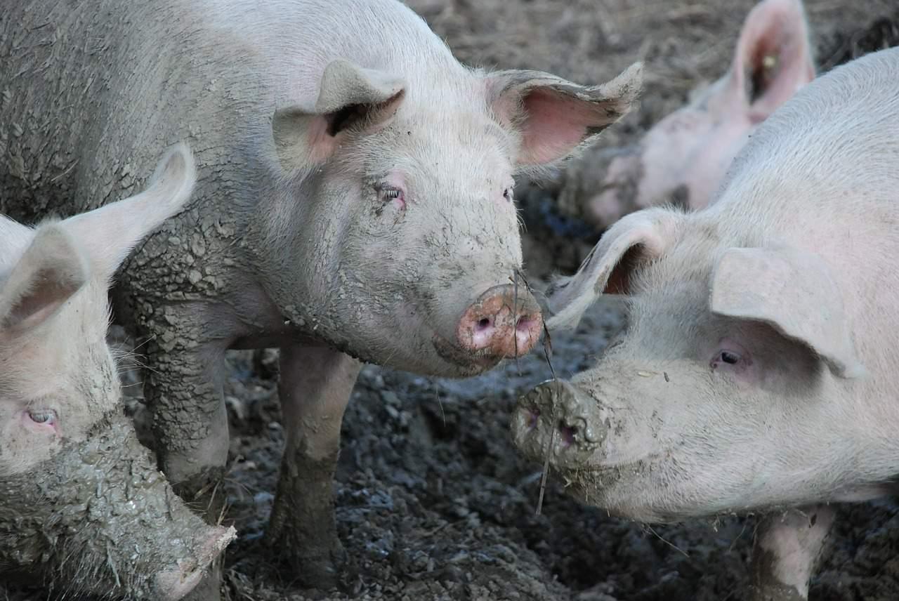 swine flu animal