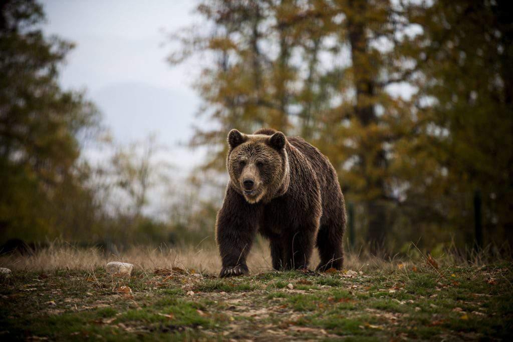 bear Translyvania
