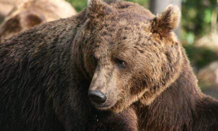 Szekler Safari – Bears within arm's reach