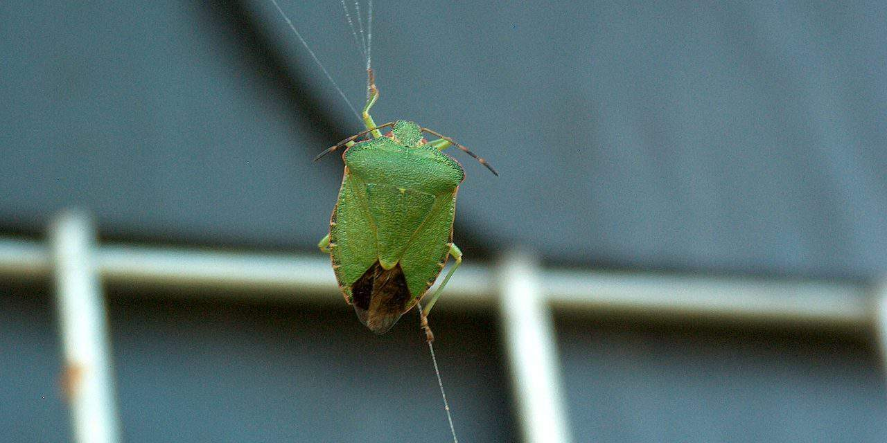 Hungarian scientists are working on a cure against stink bugs