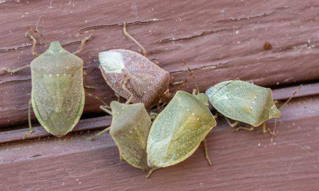 Stink bug invasion in Hungary gets unbearable
