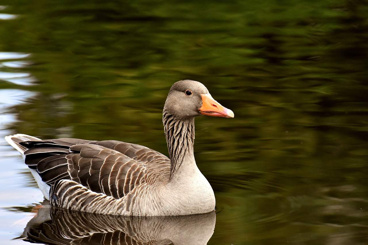 bird, goose, lake, nature