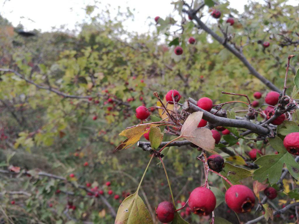 berry, plant, bush