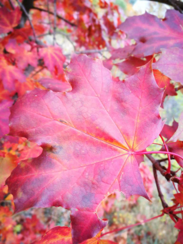 leaf, closeup, red, nature