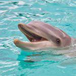 dolphin, sea, animal, water