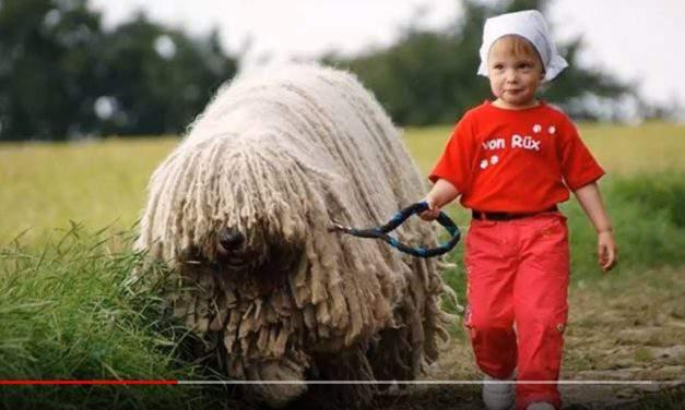 Is it a dog? Is it a bear? It's the Hungarian komondor! – VIDEOS