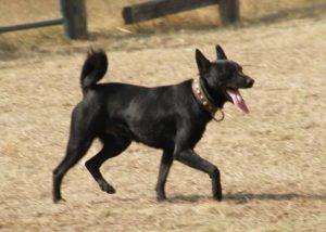 Sinka, the Hungarian shepherd dog